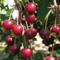 Wiśnia Kolumnowa sadzonka 70-100cm w pojemniku drzewa owocowe